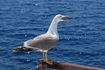 Larus michahellis. Mediterranean Seagull close-up with open beak