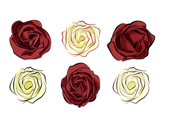 rose red and white isolated on white background separately arran