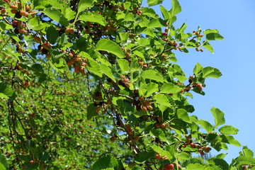 Branches of mulberry with fruits against the sky