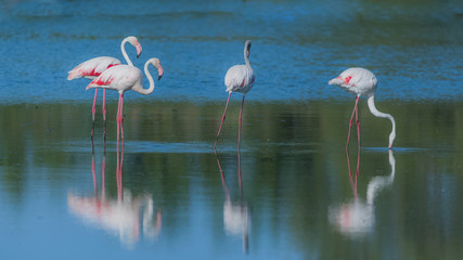 Pink flamingos eating in the lake, reflection on the water