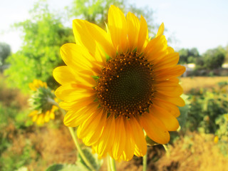 Flower of sunflower