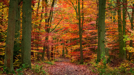 Stunning autumn full of red and yellow leaves forest