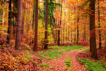 Foto op Canvas Bos Wonderful forest in the autumn full of red leaves, Poland
