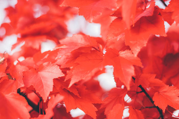 Close up red maple leaves