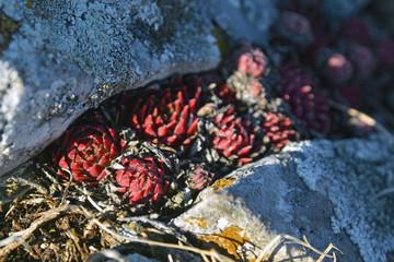 sempervivum montanum plant