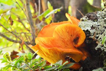 Omphalotus illudens mushroom