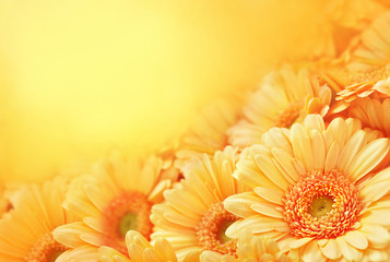 Papiers peints Gerbera Summer/autumn blossoming gerbera flowers on orange background, bright floral card, selective focus