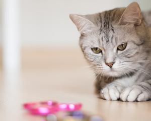 American shorthair cat looking at fidget spinner spinning