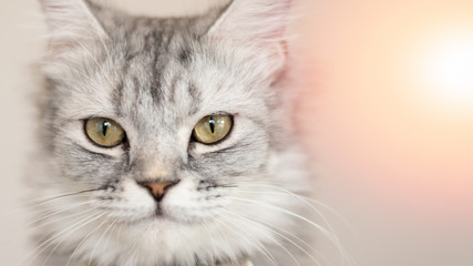 American shorthair cat kitten portrait closeup with copyspace