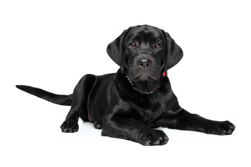 Labrador puppy on white background