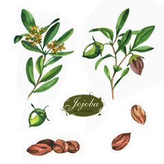 Hand drawn watercolor jojoba collection isolated on white background. Botanical Illustration