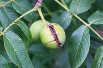 Reife Walnuss am Baum, Beginn der Walnussernte, Walnussbaum, grüne Schale zum Färben