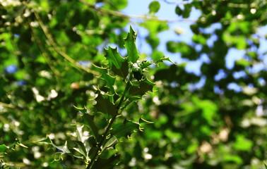 """plante arbustive, """"le houx vert"""""""