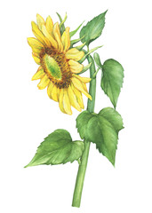 Branch with yellow flower of plant sunflower (also known as Helianthus annuus). Watercolor hand drawn painting illustration isolated on a white background