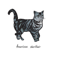American shorthair, cat breeds illustration with inscription, hand drawn colorful doodle, sketch, vector