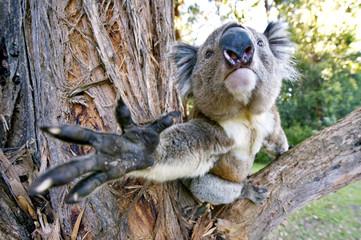 A koala in a tree reaches out toward the camera.