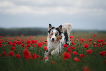 dog in a poppy field. Australian Shepherd in colors. active pet in nature