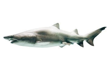 Side view of Great White Shark, Carcharodon carcharias, isolated on white.The white shark is the world's largest known macropredatory fish, and is one of primary predators of marine mammals.Copy space