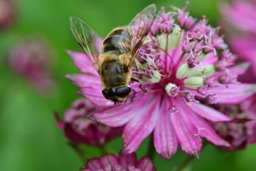 Macro shot of a bee on a great masterwort (Astrantia major) flower