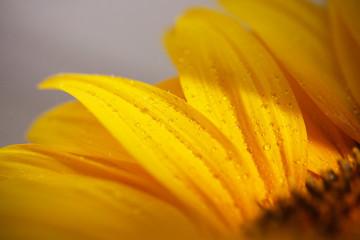 подсолнух молодой яркий жёлтый на белом фоне