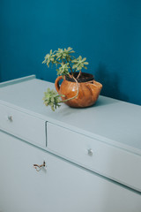 Succulent plant on a blue furniture