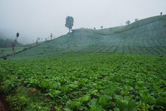 Foggy Cabbage plantation