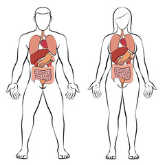 Digestive tract with internal organs, male and female body - schematic human anatomy illustration - isolated vector on white background.