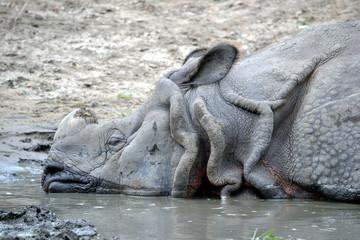 Rhinoceros - close-up
