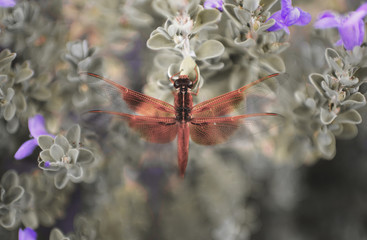A bright red dragonfly rests on a Texas Ranger shrub with purple flowers