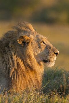 African lion laying on grass, Okavango Delta, Botswana, Africa