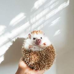 Hand holding hedgehog with surprised expression in the light