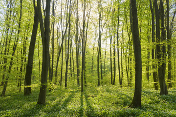 Beech tree (Fagus sylvatica) Forest in Spring, Hesse, Germany
