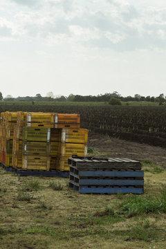 Crates for harvesting asparagus crop