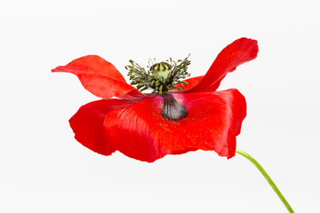 Red Field Poppy (Papaver rhoeas) on White Background