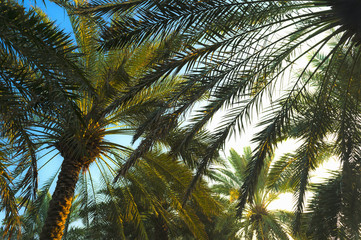 Palm Trees at Sunrise, Dubai, United Arab Emirates