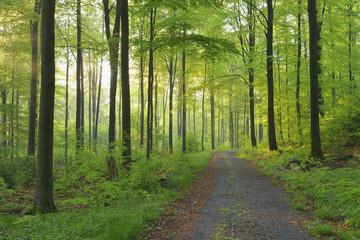 Path through European Beech (Fagus sylvatica) Forest, Spessart, Bavaria, Germany