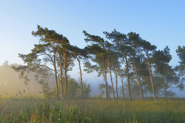 Pine Trees on Misty Morning, Fischland-Darss-Zingst, Mecklenburg-Western Pomerania, Germany