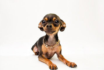 English Toy Terrier on a white background