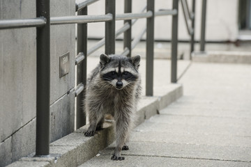 Raccoon in Urban Setting