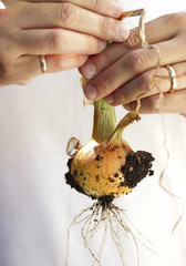 Man's Hands Holding Young Spanish Onion freshly dug from Garden, Toronto, Ontario, Canada
