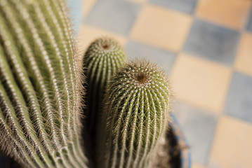 Close-up of Potted Cactus, Marrakesh, Morocco