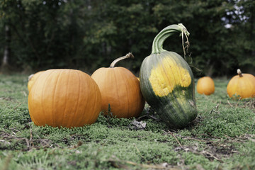 Pumpkins at a pumpkin patch with a rather dissimilar interloper - a green pumpkin that looks like a skull!