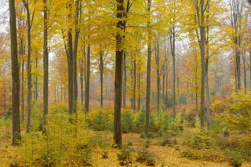 Colorful Autumn Forest, Spessart, Bavaria, Germany