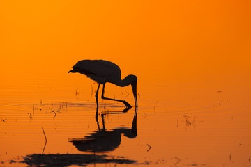 Silhouette of yellow-billed stork wading in water at sunrise, Africa