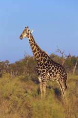 Profile portrait of a southern giraffe (Giraffa giraffa) standing in field at the Okavango Delta in Botswana, Africa