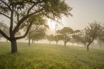 Silhouette of appel trees in a field with the sun shining through the morning mist at Schmachtenberg in Bavaria, Germany
