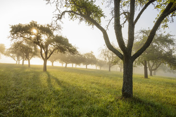 Silhouette of apple trees in a field with the sun shining through the morning mist at Schmachtenberg in Bavaria, Germany