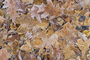 Close-up of oak tree leaves in autumn covered with rime in the Odenwald hills in Bavaria, Germany