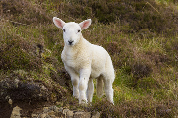 Portrait of lamb in springtime at Dunvegan on the Isle of Skye in Scotland, United Kingdom
