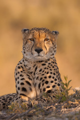 Cheetah lying on ground, Okavango Delta, Botswana, Africa